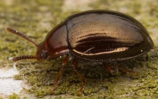 Scaphidema metallicum · variaspalvis juodvabalis 3253