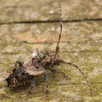 Pogonocherus hispidus · dygliasparnis žabinukas 3255