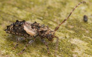 Pogonocherus hispidus · dygliasparnis žabinukas