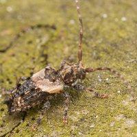 Pogonocherus hispidus · dygliasparnis žabinukas 3259
