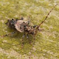 Pogonocherus hispidus · dygliasparnis žabinukas 3260