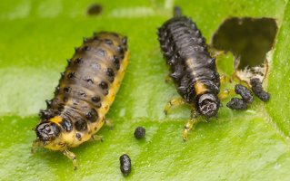 Plagiosterna aenea larvae · žaliasis girinukas, lervos 3270