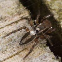 Phlegra fasciata female · šokliavoris ♀ 3276