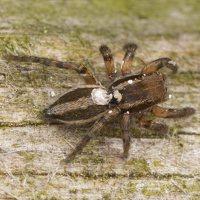 Phlegra fasciata female · šokliavoris ♀ 3277