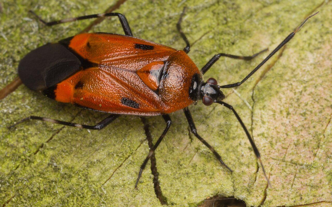 Deraeocoris trifasciatus · trijuostė žolblakė 3282 -- oranžinė forma