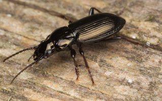 Pterostichus oblongopunctatus · duobėtasis smiltžygis 3284