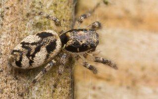 Salticus cingulatus female · baltašonis šokliavoris ♀ 3287