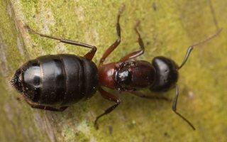 Formicidae · skruzdėlės 3288