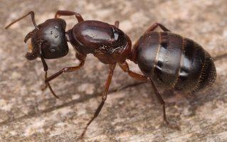 Formicidae · skruzdėlės 3289