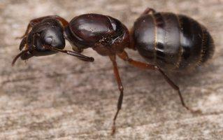 Formicidae · skruzdėlės 3291