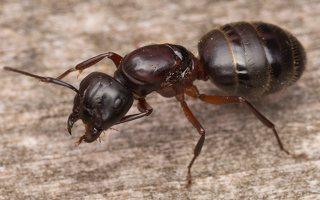 Formicidae · skruzdėlės 3292