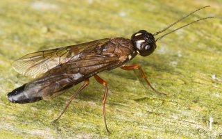 Hymenoptera · plėviasparnis 3305