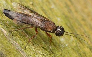 Hymenoptera · plėviasparnis 3306