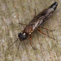 Hymenoptera · plėviasparnis 3308