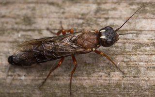 Hymenoptera · plėviasparnis 3309