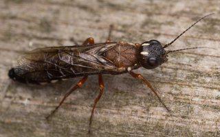 Hymenoptera · plėviasparnis 3310