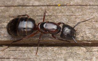 Formicidae · skruzdėlės 3311