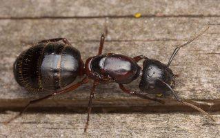 Formicidae · skruzdėlės 3312