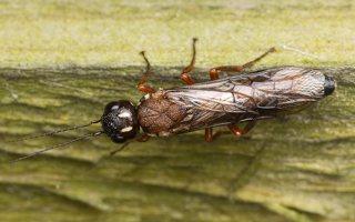 Hymenoptera · plėviasparnis 3329