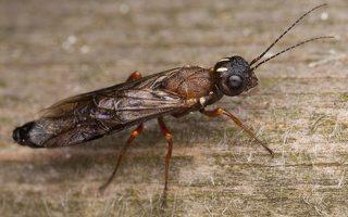 Hymenoptera · plėviasparnis 3330