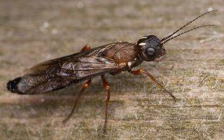 Hymenoptera · plėviasparnis 3331