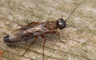 Hymenoptera · plėviasparnis 3334