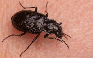 Blethisa multipunctata · daugiataškis žygis 3336