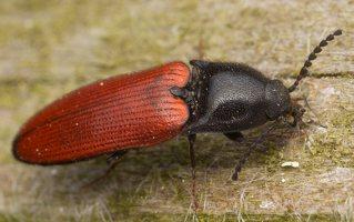 Ampedus sp. · kelmaspragšis 3347