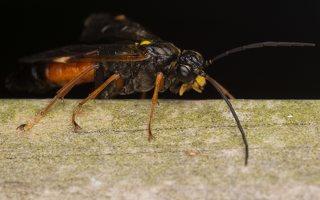 Tenthredopsis stigma · pjūklelis 3351