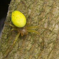 Araniella cucurbitina · raudondėmis voriukas 3354