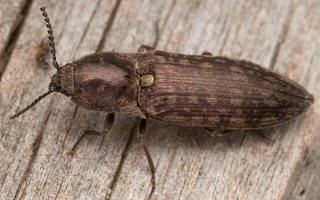 Actenicerus siaelandicus · strazdanotasis spragšis 3357