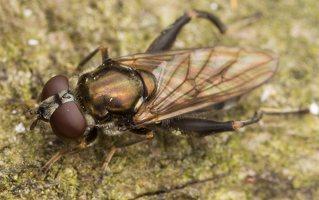 Chalcosyrphus nemorum female · žiedmusė ♀ 3358