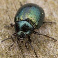 Phaedon armoraciae · šlapyninis žėrulis 3459