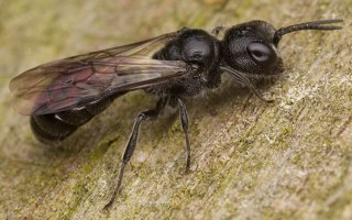 Hymenoptera · plėviasparnis 3466