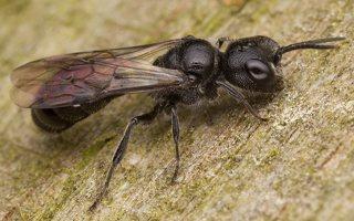 Hymenoptera · plėviasparnis 3467