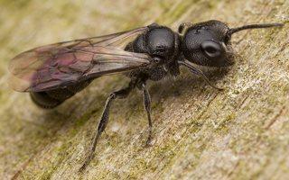 Hymenoptera · plėviasparnis 3468