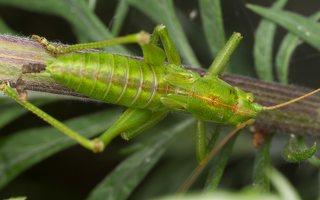 Tettigonia viridissima · žaliasis žiogas 3470