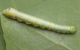 Pheosia tremula caterpillar · tuopinis kuodis, vikšras 3479