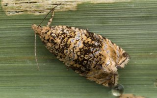Celypha lacunana · dilgėlinė celifa 3495