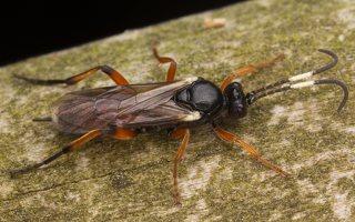 Hymenoptera · plėviasparnis 3501