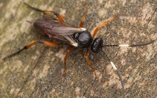 Hymenoptera · plėviasparnis 3502