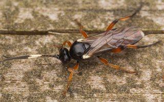 Hymenoptera · plėviasparnis 3503