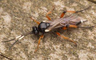 Hymenoptera · plėviasparnis 3504