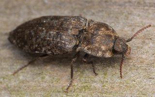 Agrypnus murinus · kanapėtasis spragšis 3510