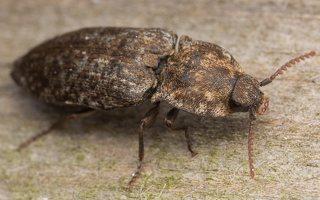Agrypnus murinus · kanapėtasis spragšis 3511