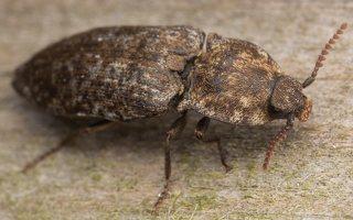 Agrypnus murinus · kanapėtasis spragšis 3512