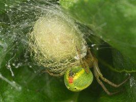 Araniella cucurbitina · raudondėmis voriukas 3519