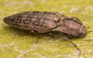 Actenicerus siaelandicus · strazdanotasis spragšis 3526