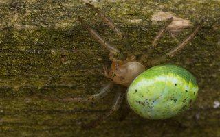 Araniella cucurbitina · raudondėmis voriukas 3532