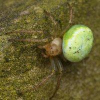 Araniella cucurbitina · raudondėmis voriukas 3533